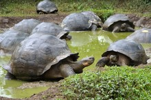 A Large Group Of Galapagos Giant Tortoises Keeping Cool In The Water.