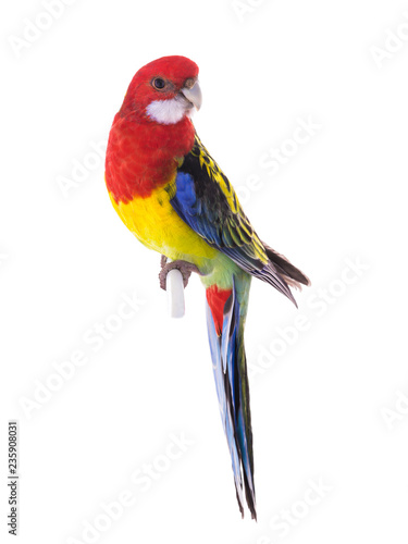 Photo sur Toile Perroquets parrot Rosella parrot isolated