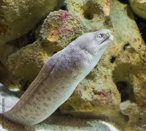 Giant White With Brown Spotted Moray Eel In Closeup A Tropical Fish