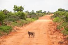 Pavian Im Tsavo Ost Nationalpark In Kenia