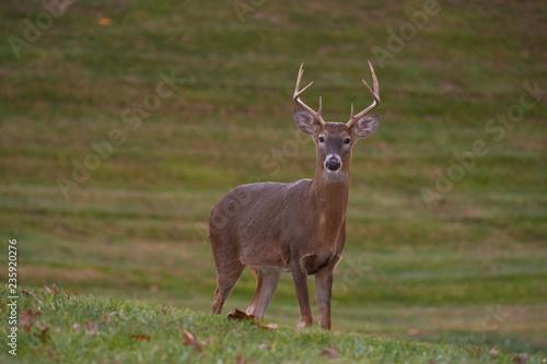 white-tailed deer buck walking through a meadow