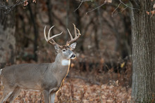 White-tailed Deer Buck In The ...