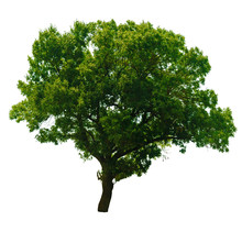 Tree With Green Leaves Isolated