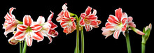 Red Amaryllis On A Black Background - Close Up