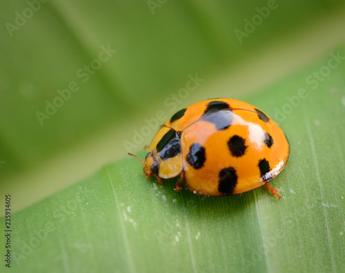 Ladybug yellow on a green leaf background in nature at Thailand, Variable Ladybird Beetles - Coelophora inaequalis