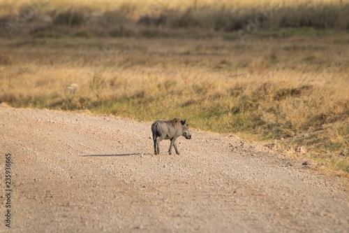 Photo  Warzenschwein in der Steppe Afrikas