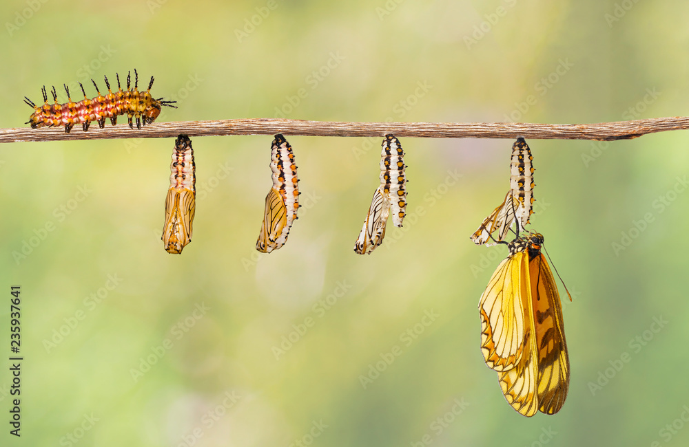 Transformation of yellow coster butterfly ( Acraea issoria ) from caterpillar and chrysalis hanging on twig