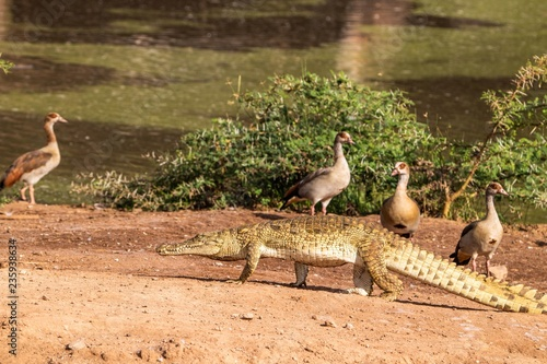 Canvas Prints Crocodile Krokodil im Ziwani Wildschutzgebiet in Kenia