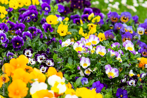 Foto op Plexiglas Pansies Pansy flowers are blommong in the garden