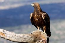 Adult Female Of Golden Eagle A...