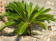 Full-grown Tree Cycas Revoluta Also Called Sago Palm, King Sago, Sago Cycad, Japanese Sago Palm