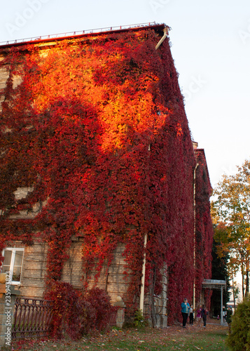 Poster Bordeaux Autumn landscape in the city.Old building entwined with branches of wild grapes in autumn bright burgundy leaves. Passers-by are photographed against the background of this building. Grodno. Belarus.