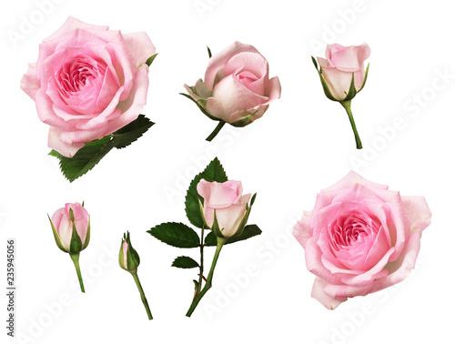 Naklejka premium Zestaw różowy kwiat róży i pąki