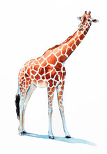 Giraffe Watercolor Illustration. Hand Painted Zoo Animal, Long Neck And Large Orange Spotted Fur And Hooves. Giraffe Is Isolated On White Background.