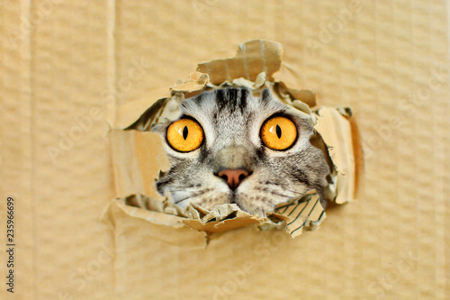 Fotografie, Obraz  Playful funny pussy cat looking in a hole