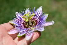 Closeup Of Passiflora Or Passion Flower Being Held In Hand