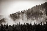 Mgła w lesie jodłowym. jesień lub wiosna w Tatrzańskim Parku Narodowym. Obraz w czarno-białym kolorze - 235984884