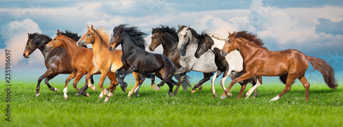 Foto op Canvas Paarden Horses free run gallop i green field with blue sky behind