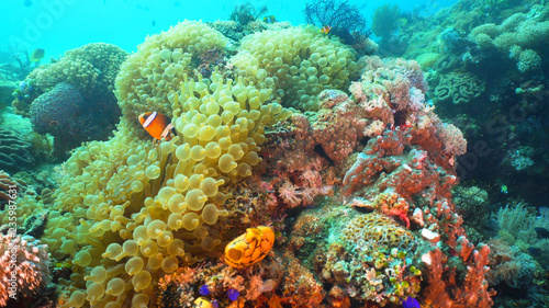 Fotobehang Koraalriffen Clown Anemonefish in actinia on coral reef. Amphiprion percula. Mindoro. Underwater coral garden with anemone and clownfish. Philippines