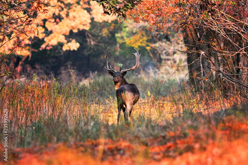 fallow deer buck in beautiful autumn setting
