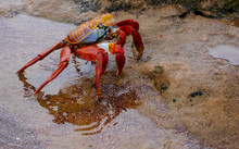Sally Lightfoot Crab On Bartol...
