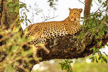 Side View Of African Leopard S...