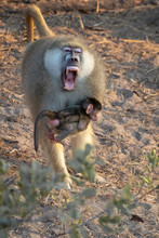 Angry Male Baboon Holding A Baby