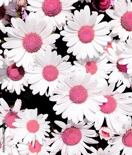 Close up of pink and white daises