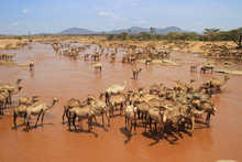A Herd Of Camels Cools In The ...