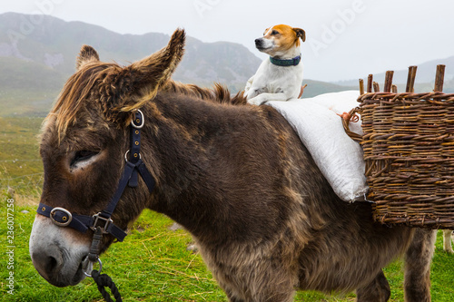 Dog Sitting on a Pony in Ireland Wallpaper Mural