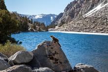 Marmot Perched On A Boulder