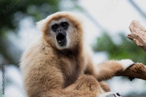 Valokuvatapetti Singing Gibbon