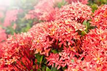 Red Ixora Flower In The Garden