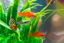 Little Fish In Fish Tank Or Aquarium, Gold Fish, Guppy And Red Fish, Fancy Carp With Green Plant, Underwater Life.