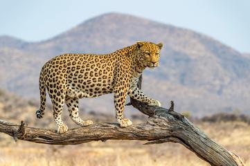 Leopard u Namibiji