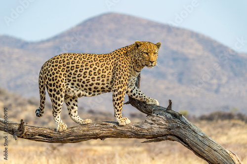 The Leopard in Namibia Canvas Print