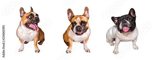 Foto op Plexiglas Franse bulldog 3 emotional french bulldog on white isolated background