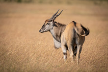 Eland Stands In Long Grass Looking Left