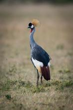 Grey Crowned Crane In Savannah Turning Head