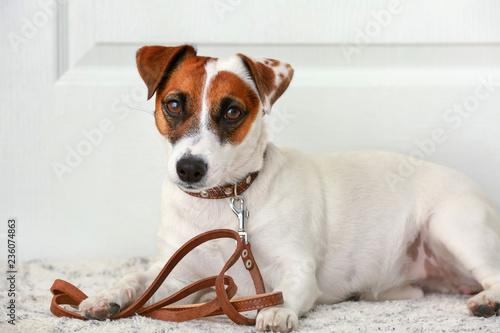 Fotografie, Obraz Cute Jack Russell terrier lying on rug near door at home