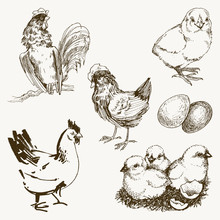 Vector Chicken Breeding Hand Drawn Set. Engraved Chicken, Roster, Baby Chick And Egg Illustrations. Rural Natural Bird Farming. Poultry Business.