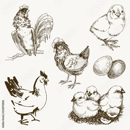 Vector chicken breeding hand drawn set Fototapet