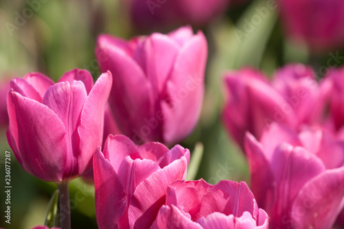 Foto op Plexiglas Roze Pink tulips in close up