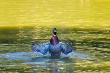 Male Wild Duck Or Anas Platyrhynchos