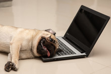 Dog Pug Breed Lying On Computer Laptop Feeling So Tried And Lazy For Work,Animal Dog And Business Concept