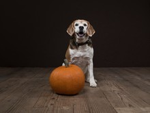 Dog With Halloween Pumpkin