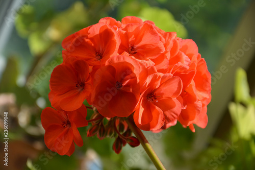 Red geranium on a green background