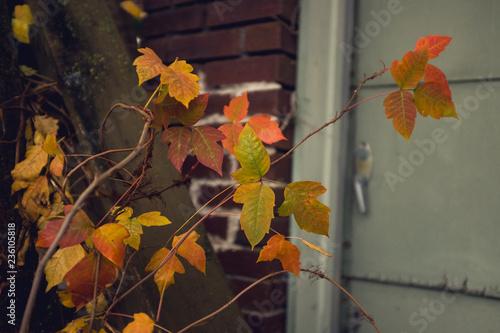 Fotografie, Obraz  dangerous poison ivy beside a house in beautiful fall foliage