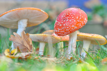 Group Of Cluster Or Fly Agaric...