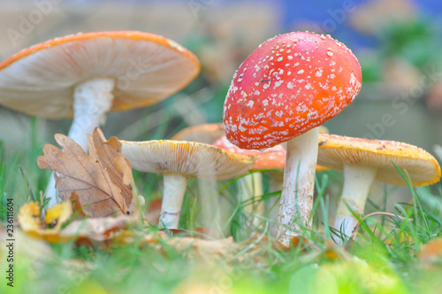 Group of Cluster or Fly Agaric in grass Wallpaper Mural